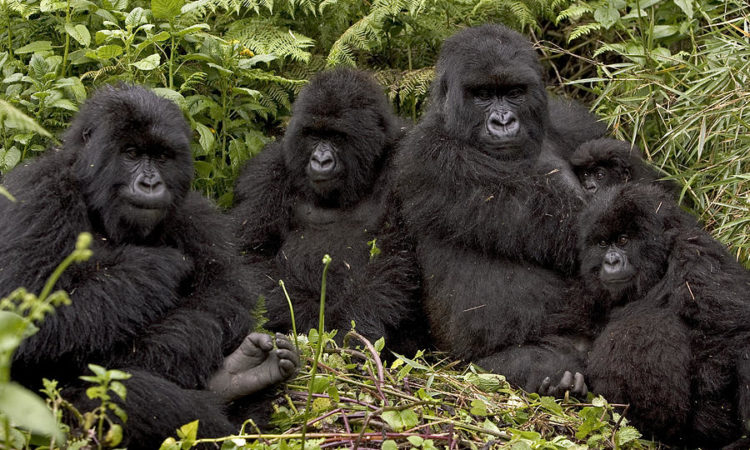 Gorilla Families in Ruhija Sector of Bwindi